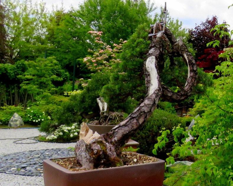 禅宗花园中的盆景树展览_图1-24
