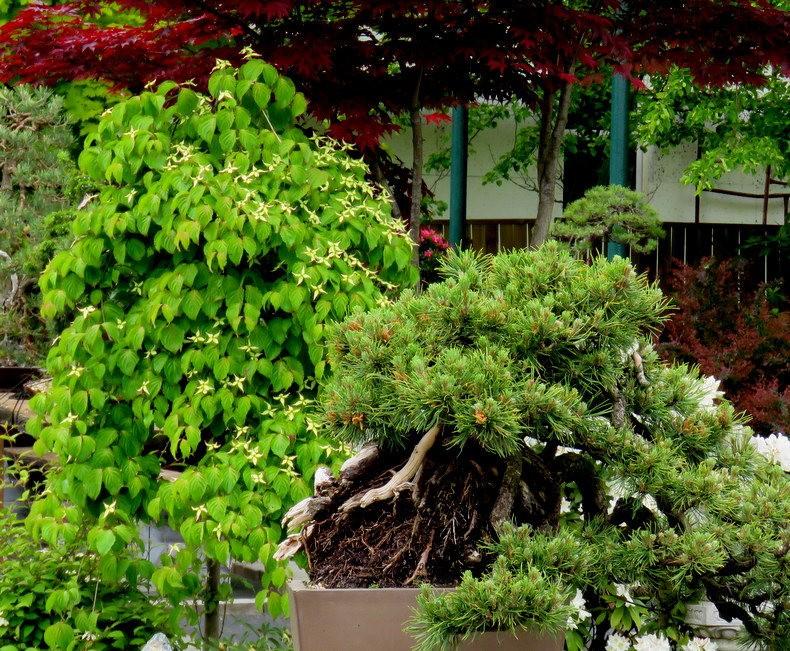 禅宗花园中的盆景树展览_图1-26