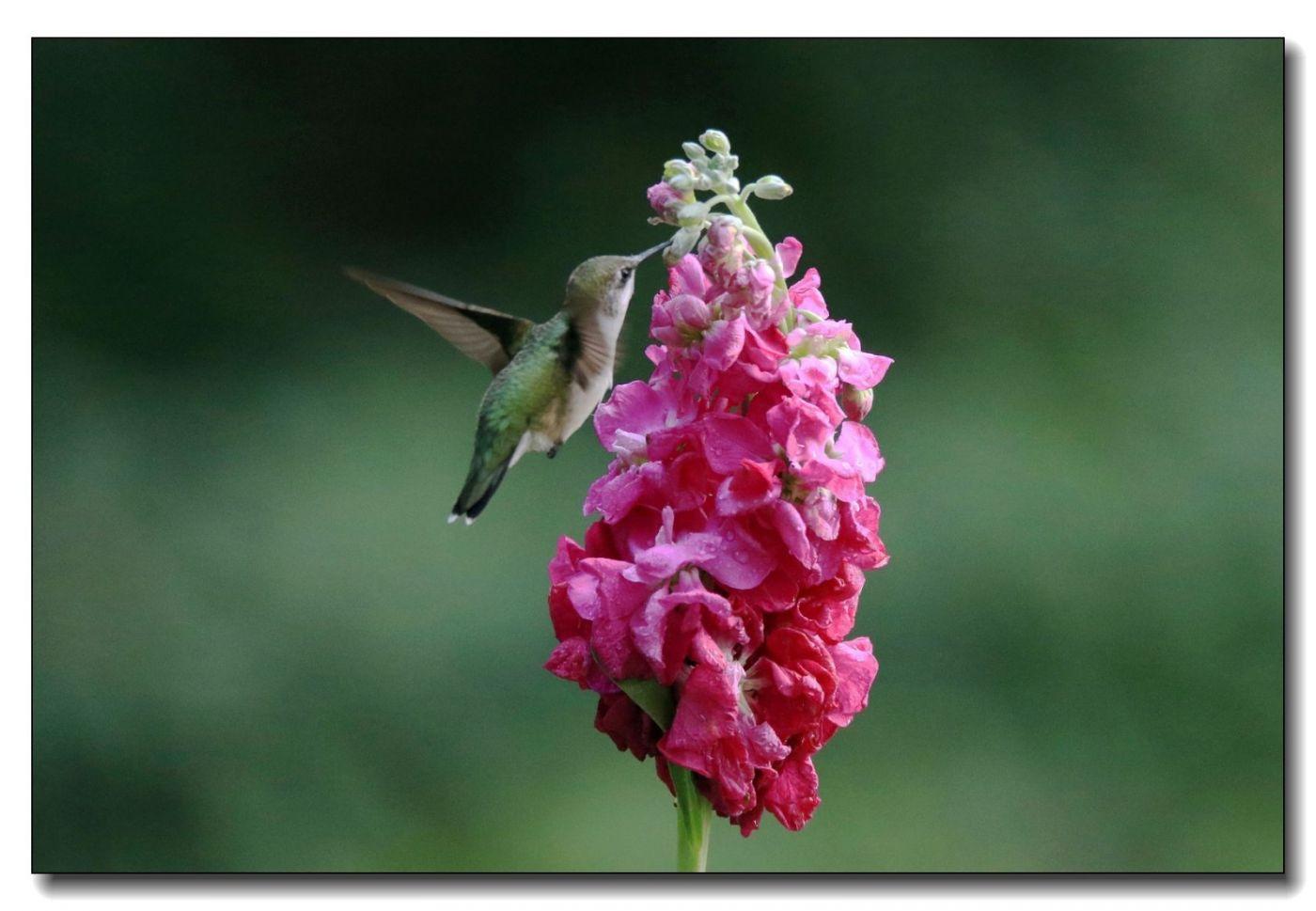 蜂鸟组图(一)_图1-1