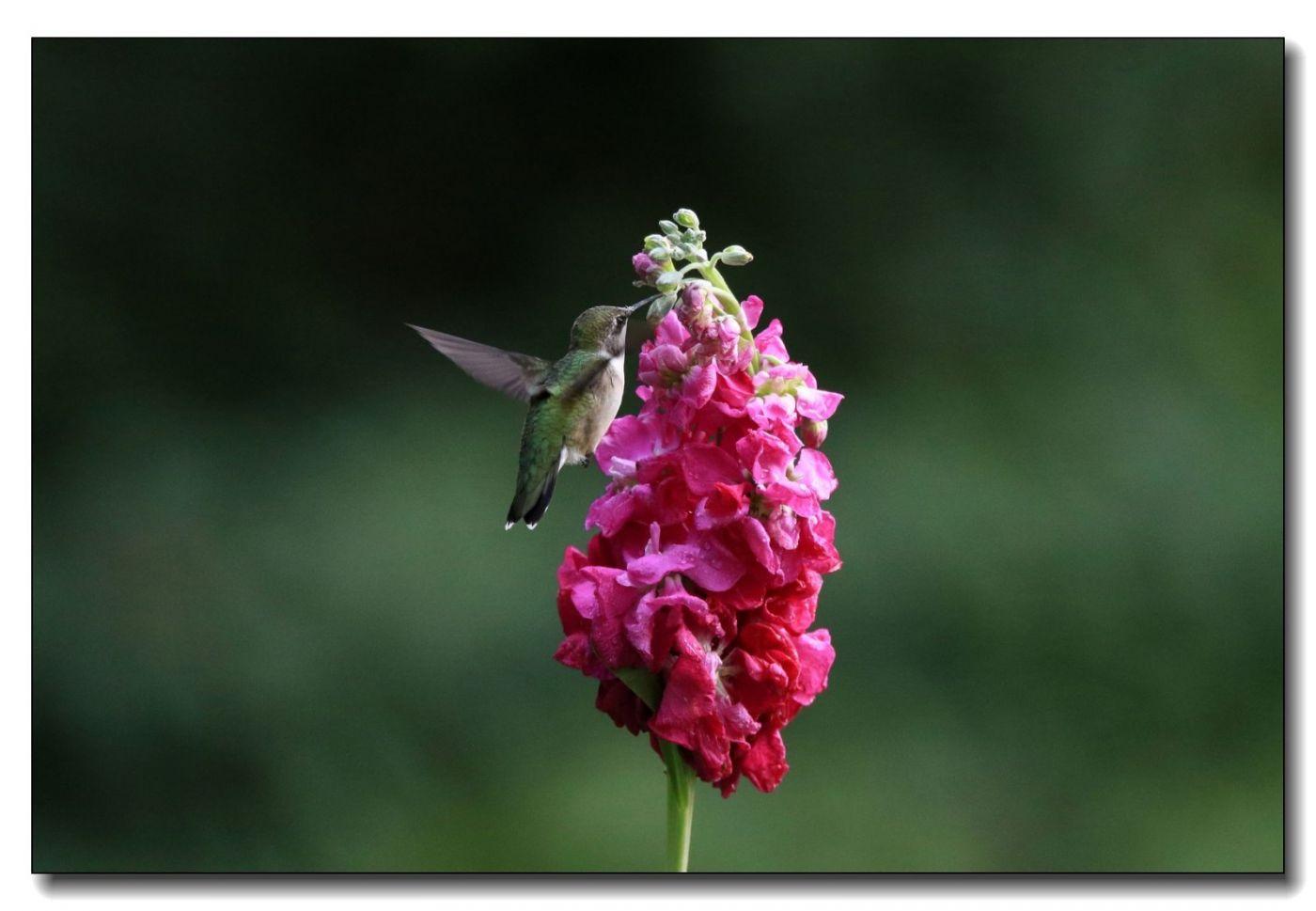 蜂鸟组图(一)_图1-2