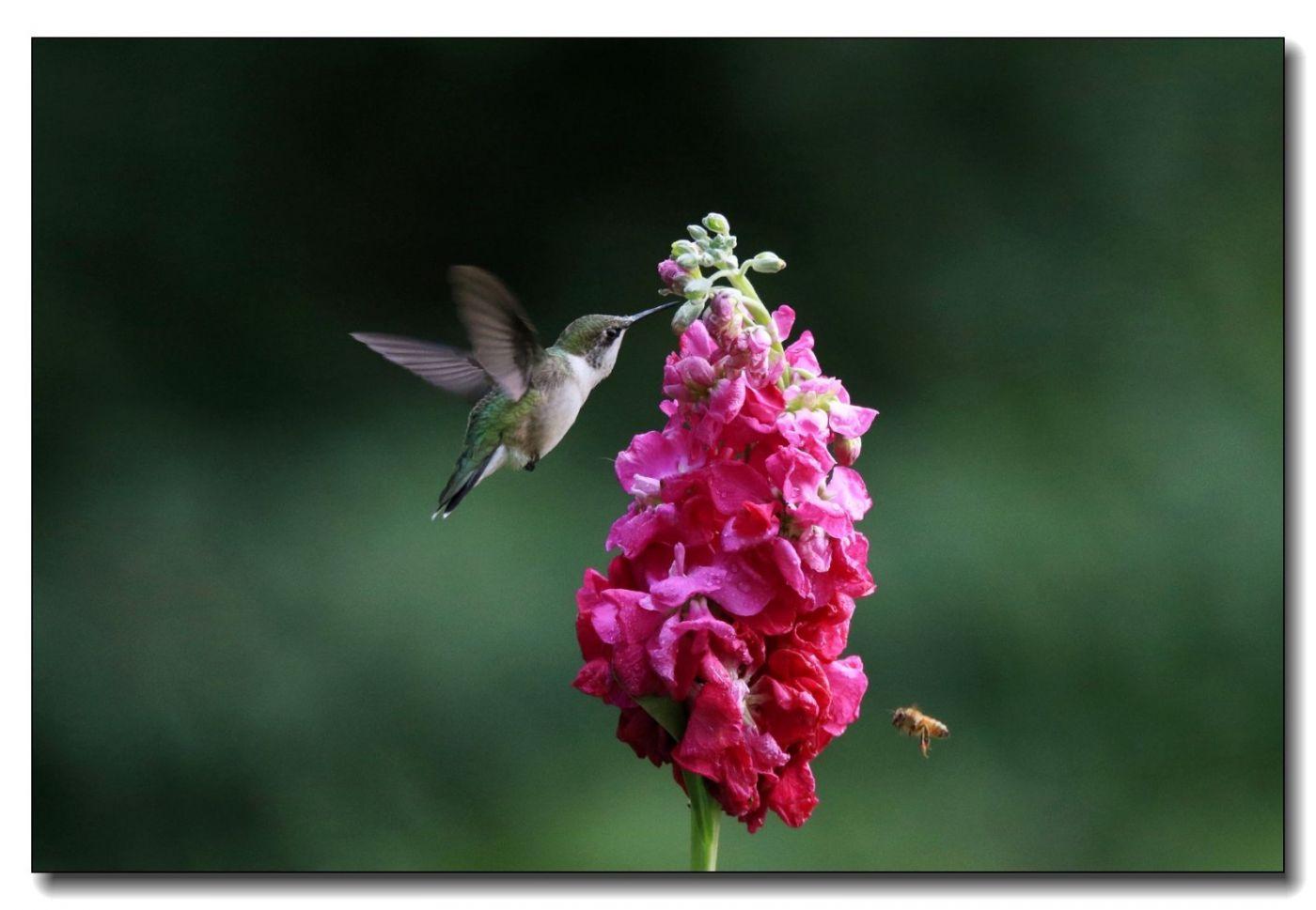 蜂鸟组图(一)_图1-3