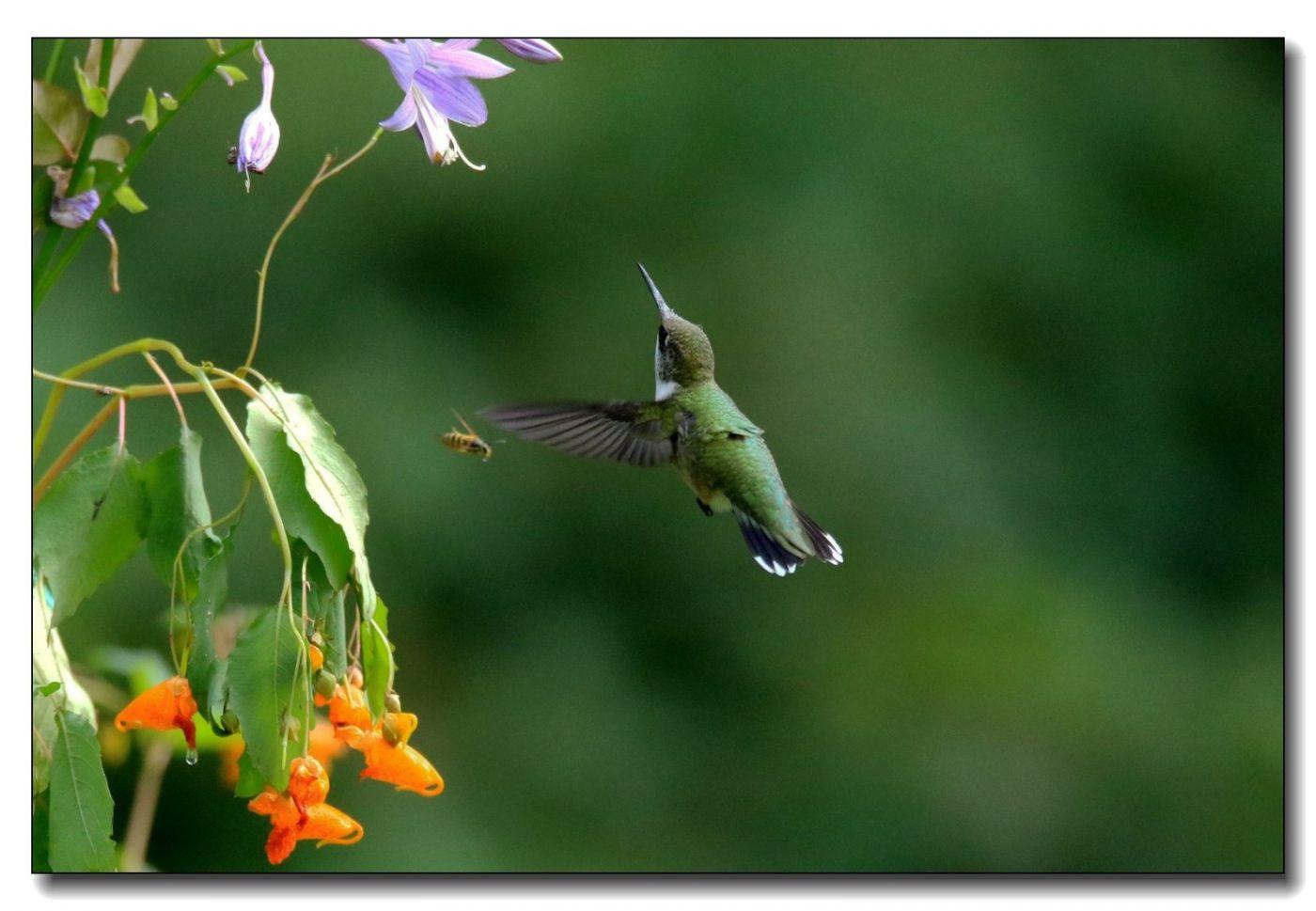 蜂鸟组图(一)_图1-5