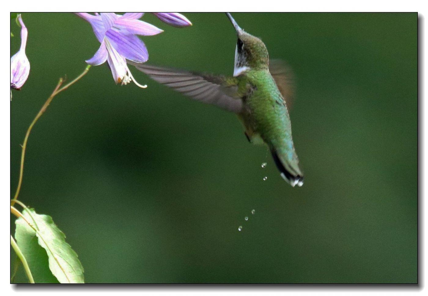 蜂鸟组图(一)_图1-6
