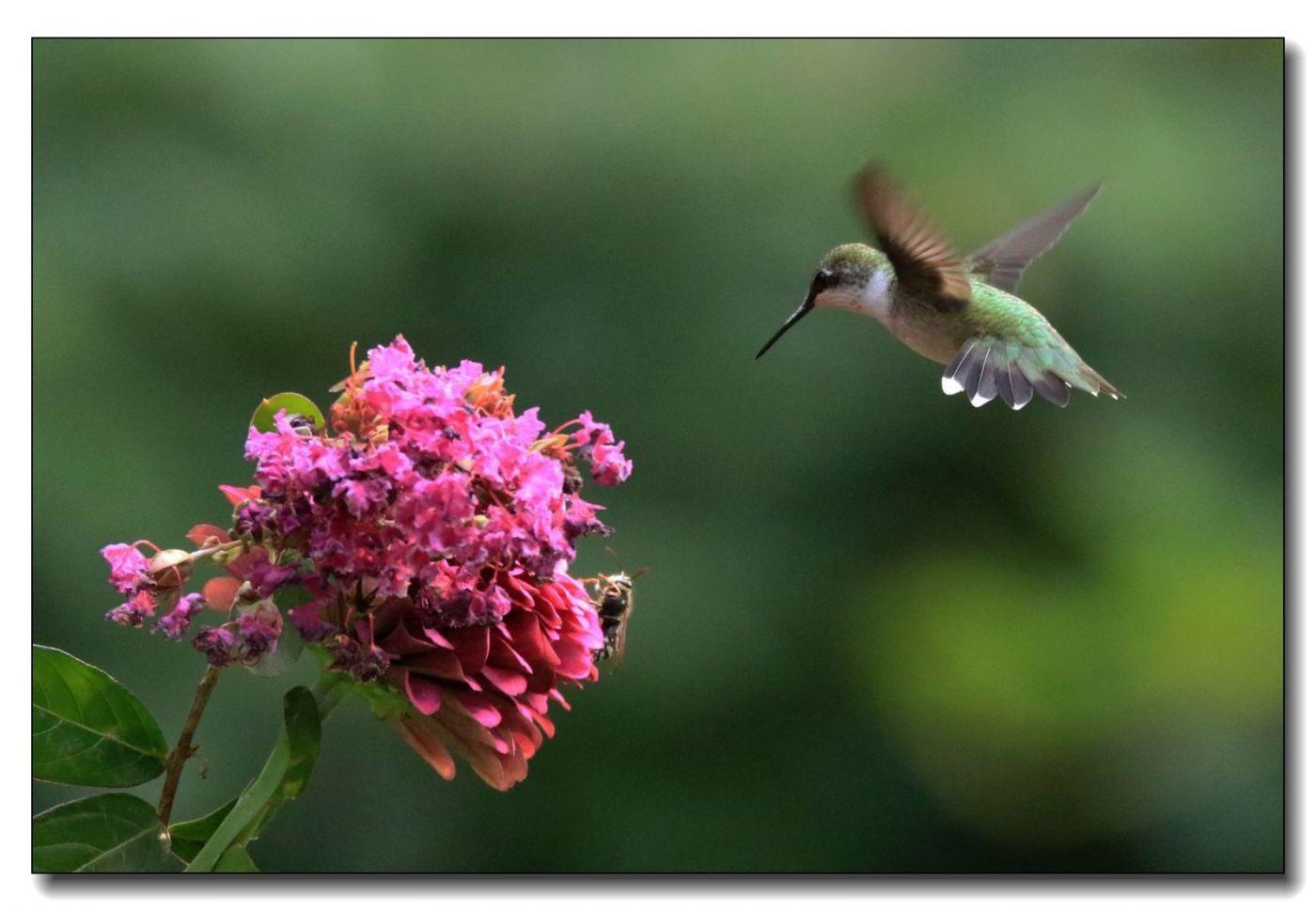 蜂鸟组图(一)_图1-12