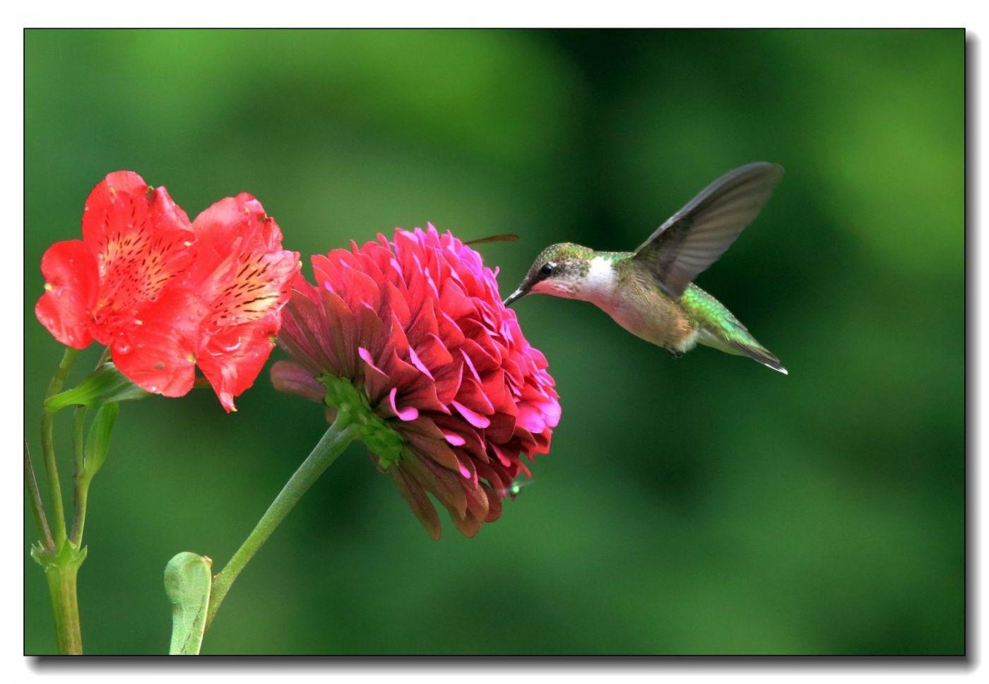 蜂鸟组图(一)_图1-13