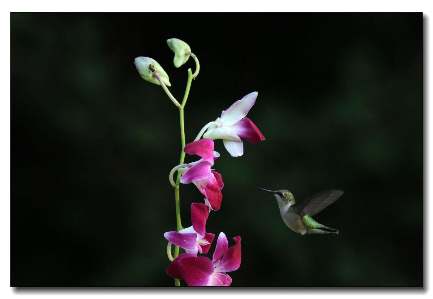 蜂鸟组图(五)_图1-1