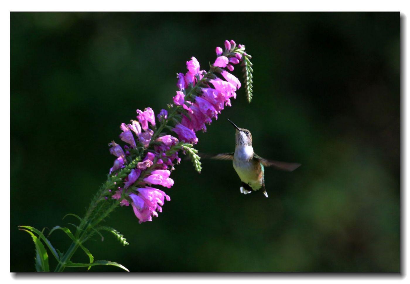 蜂鸟组图(五)_图1-2