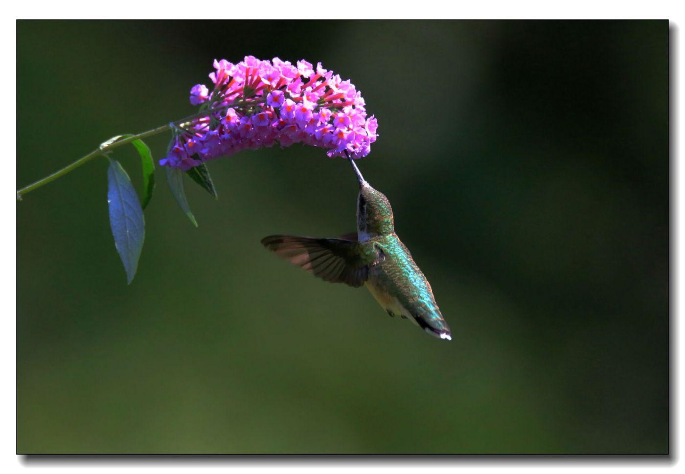 蜂鸟组图(五)_图1-3
