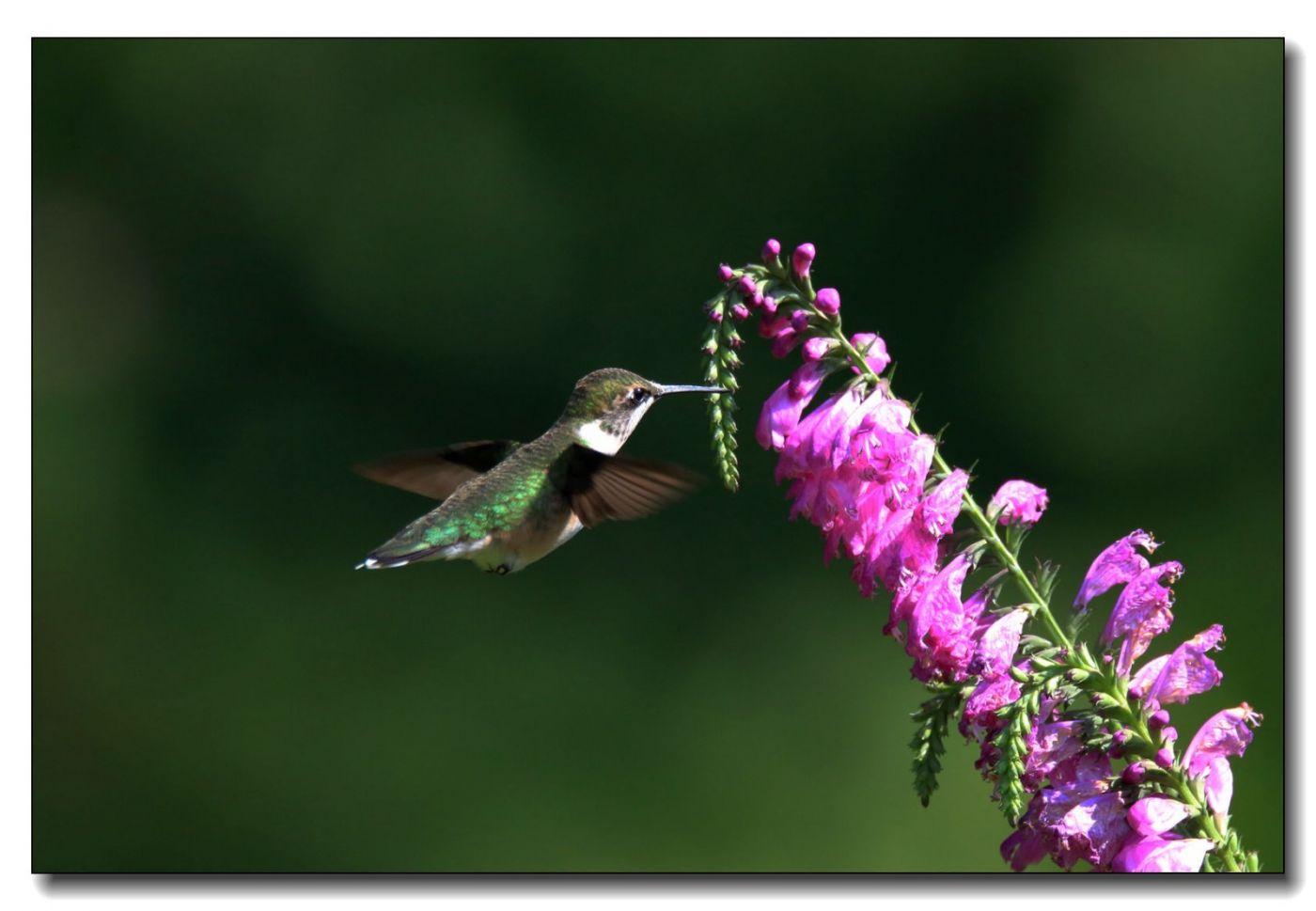 蜂鸟组图(五)_图1-5