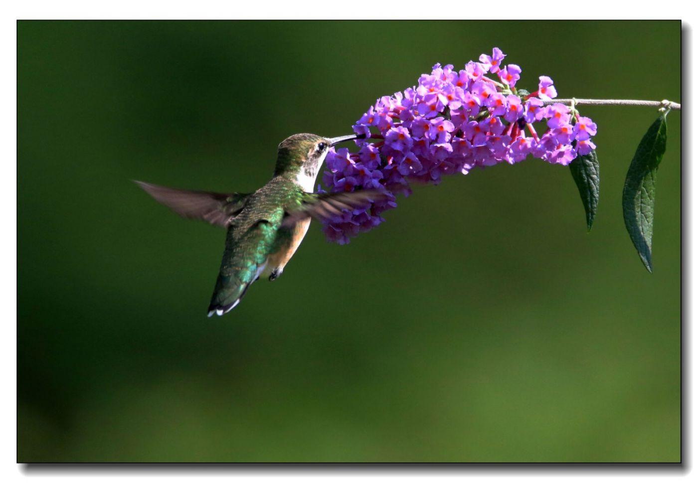 蜂鸟组图(五)_图1-6