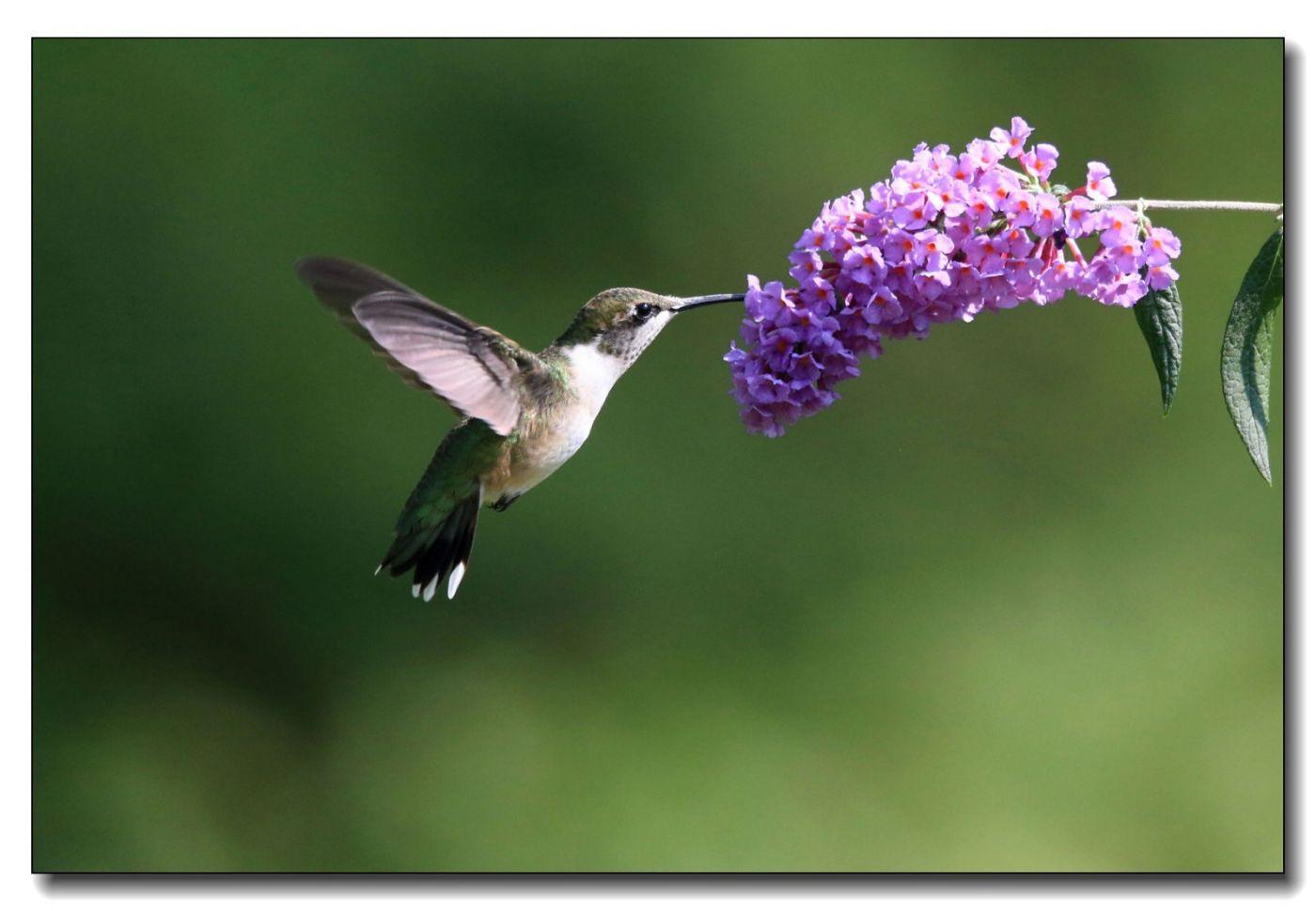 蜂鸟组图(五)_图1-7