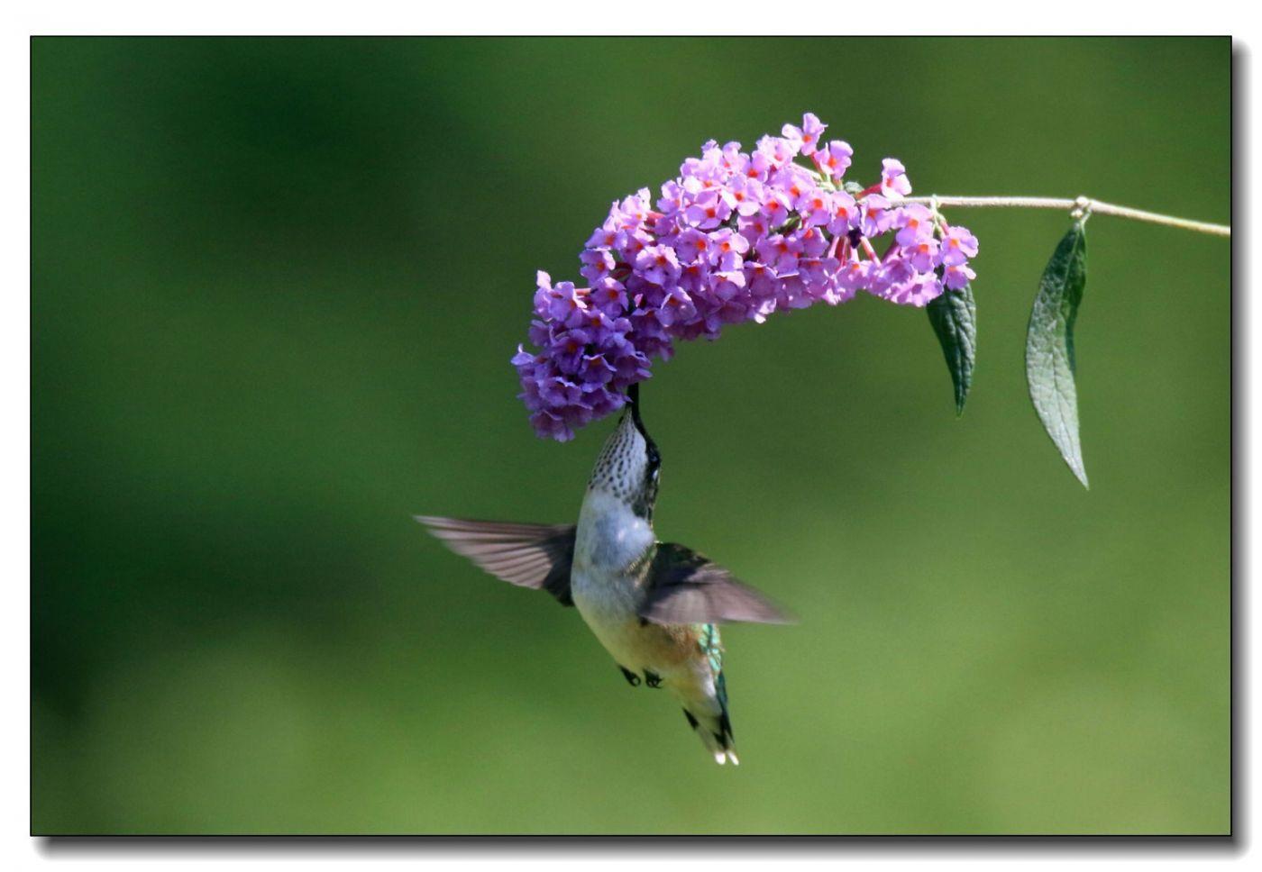 蜂鸟组图(五)_图1-8