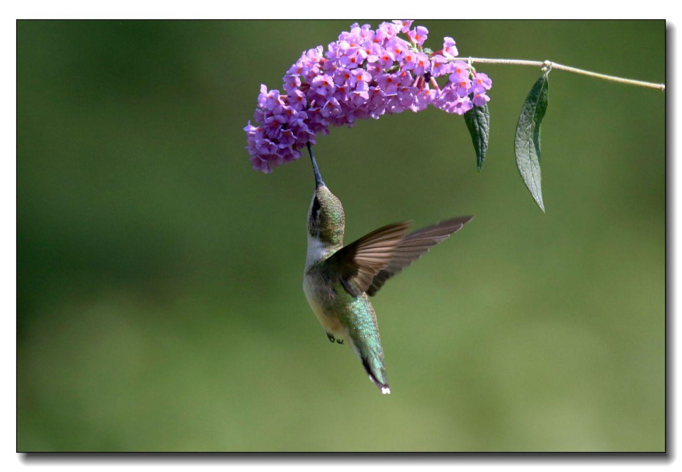 蜂鸟组图(五)_图1-9