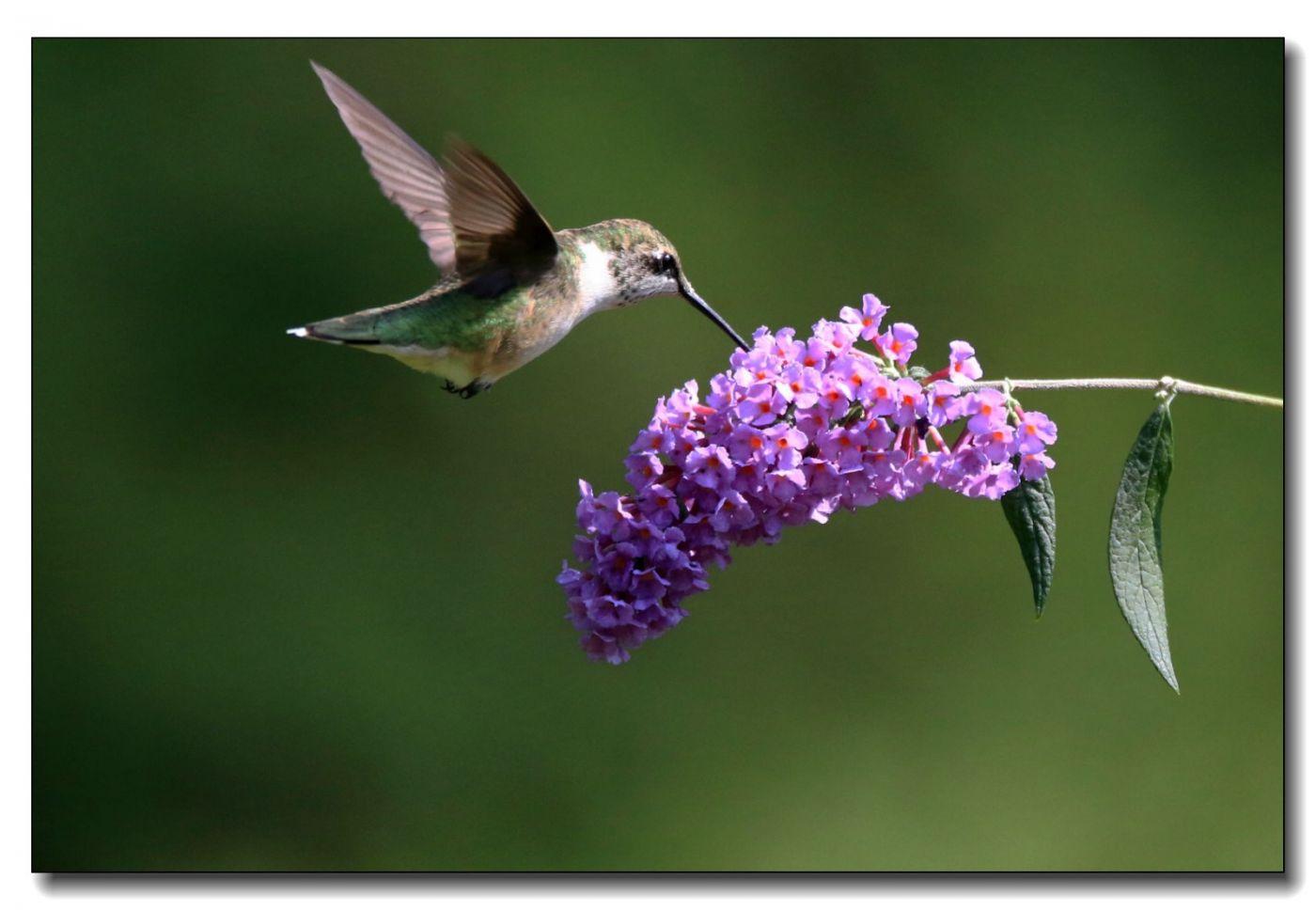 蜂鸟组图(五)_图1-10