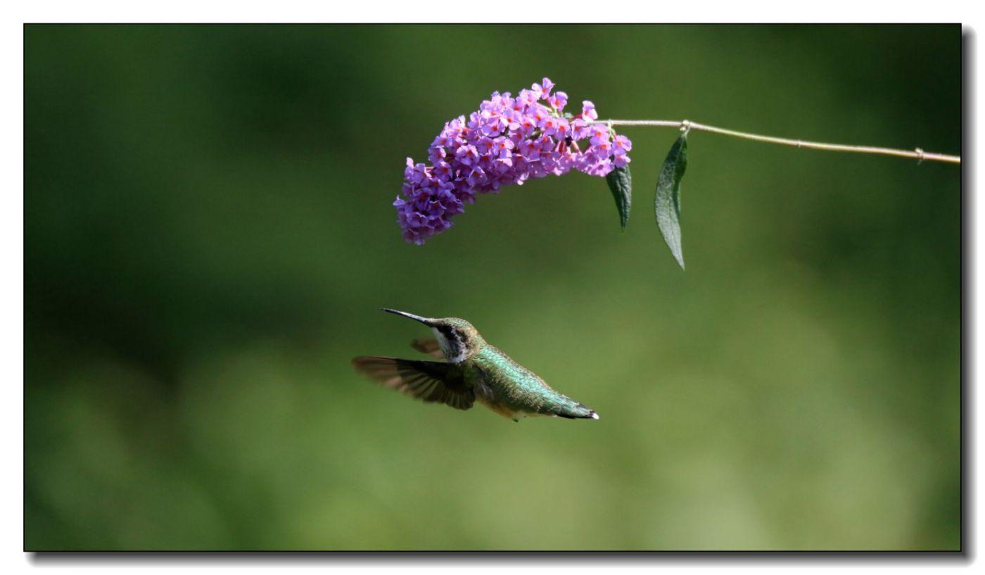 蜂鸟组图(五)_图1-11