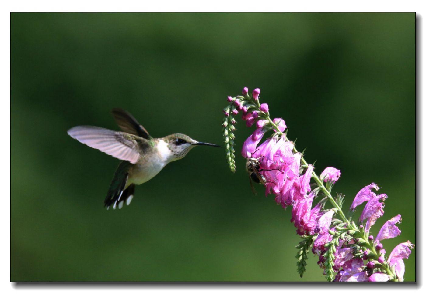蜂鸟组图(五)_图1-12
