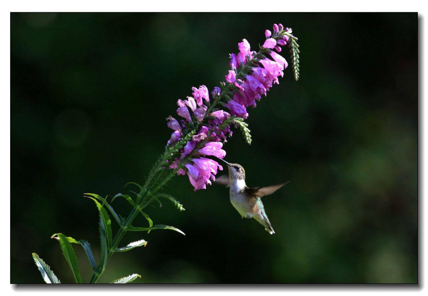 蜂鸟组图(五)_图1-14