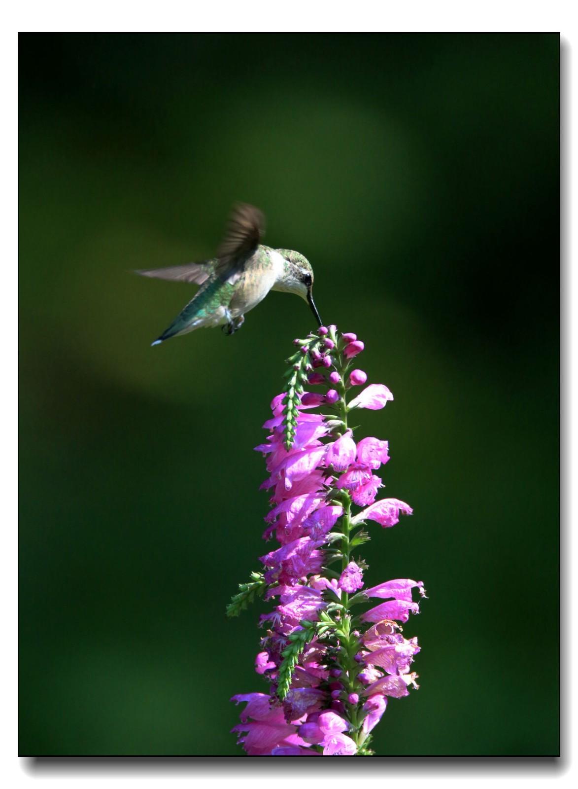 蜂鸟组图(五)_图1-15