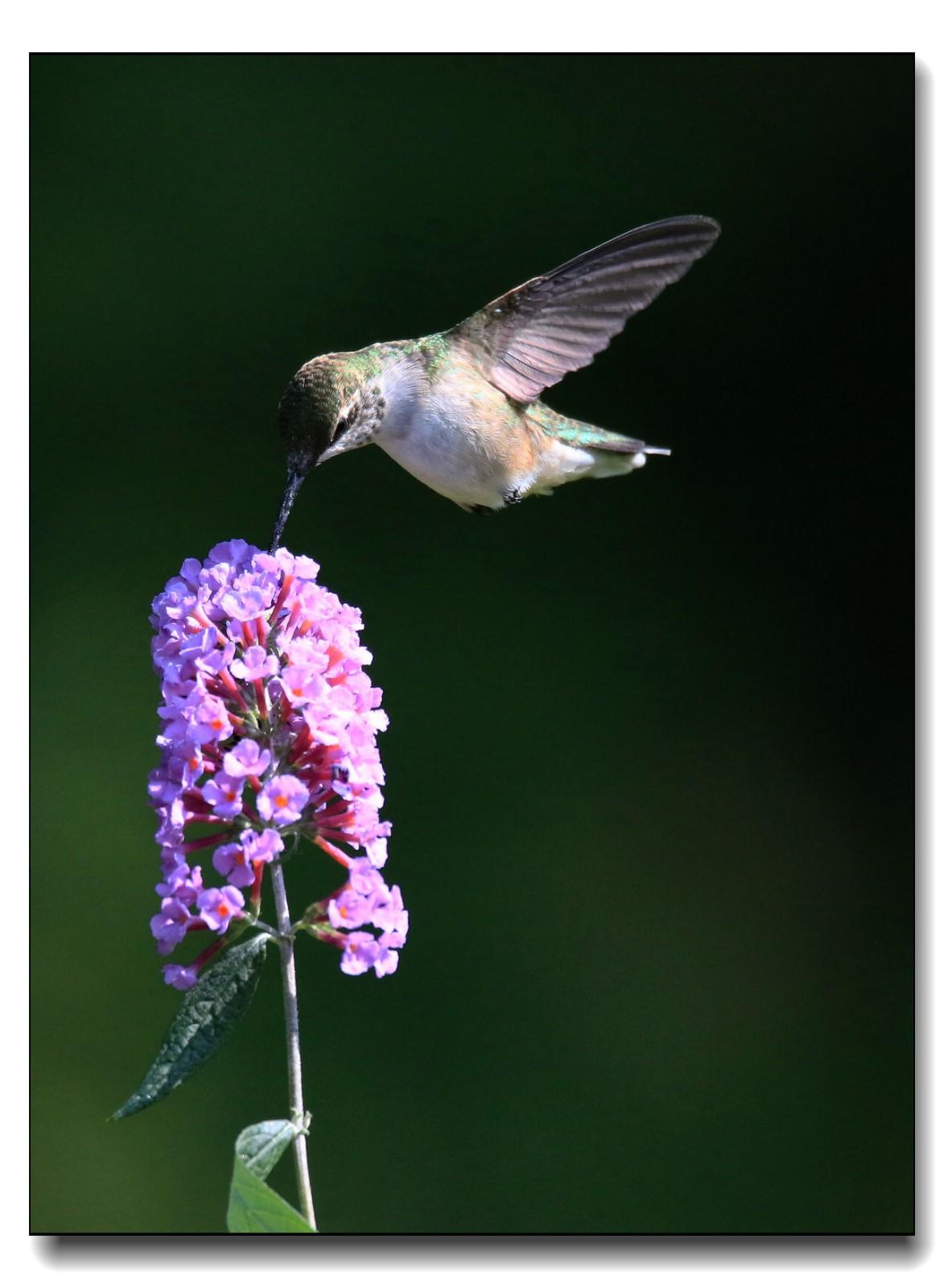 蜂鸟组图(五)_图1-16