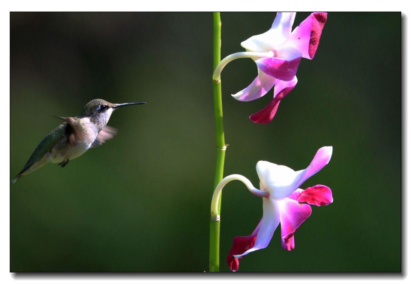 蜂鸟组图(五)_图1-18