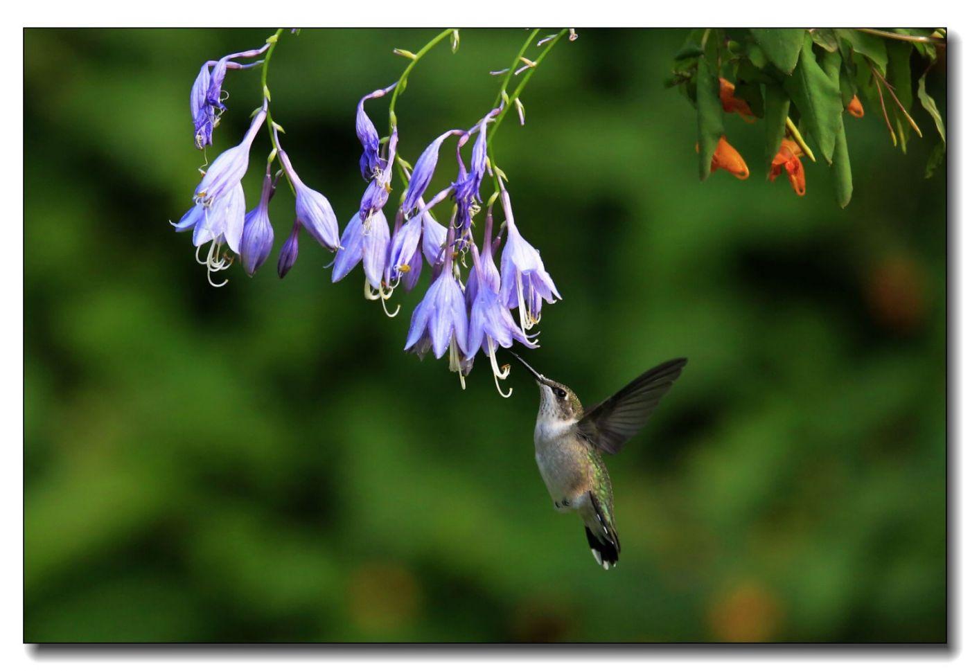蜂鸟组图(六)_图1-1