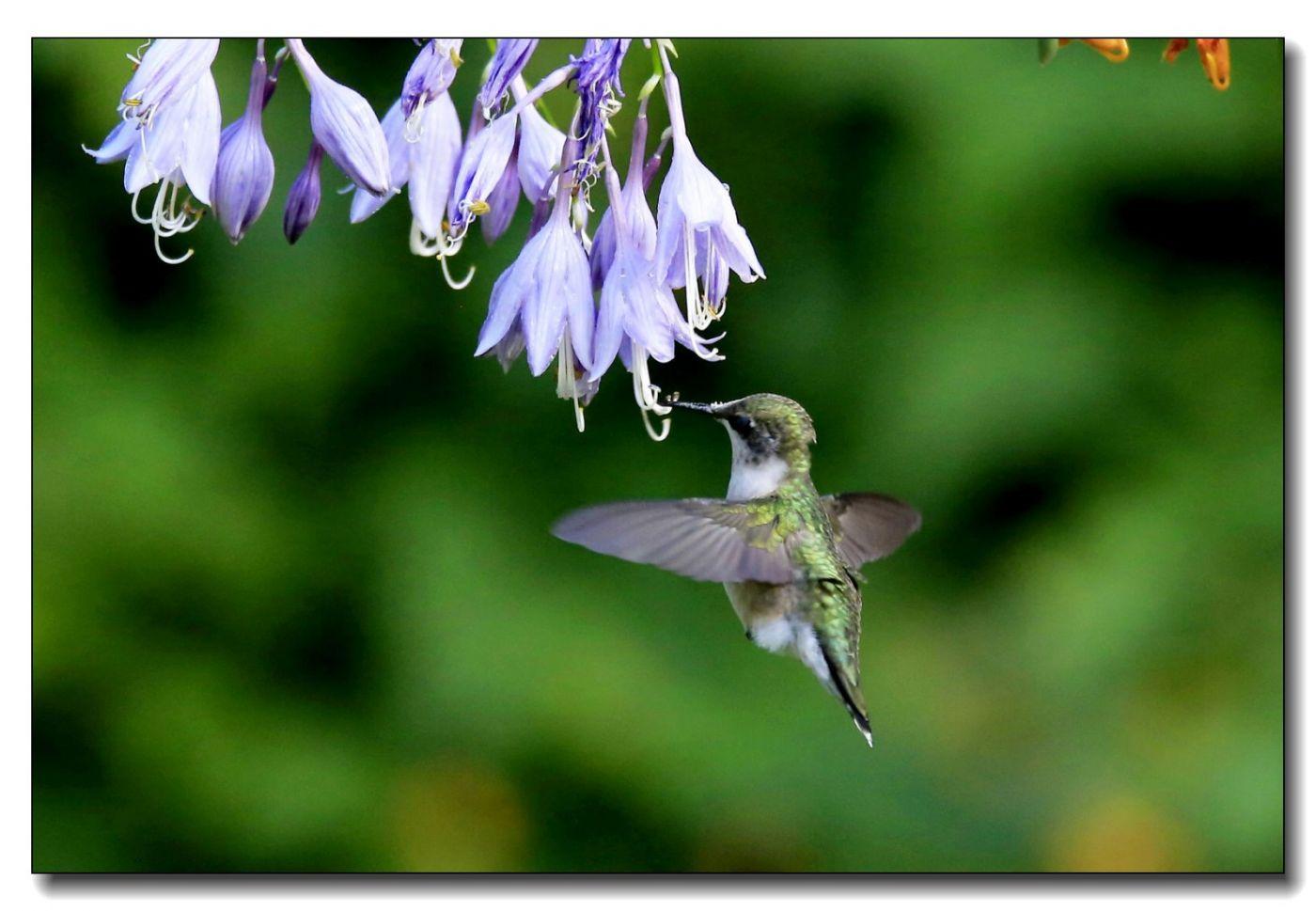 蜂鸟组图(六)_图1-2