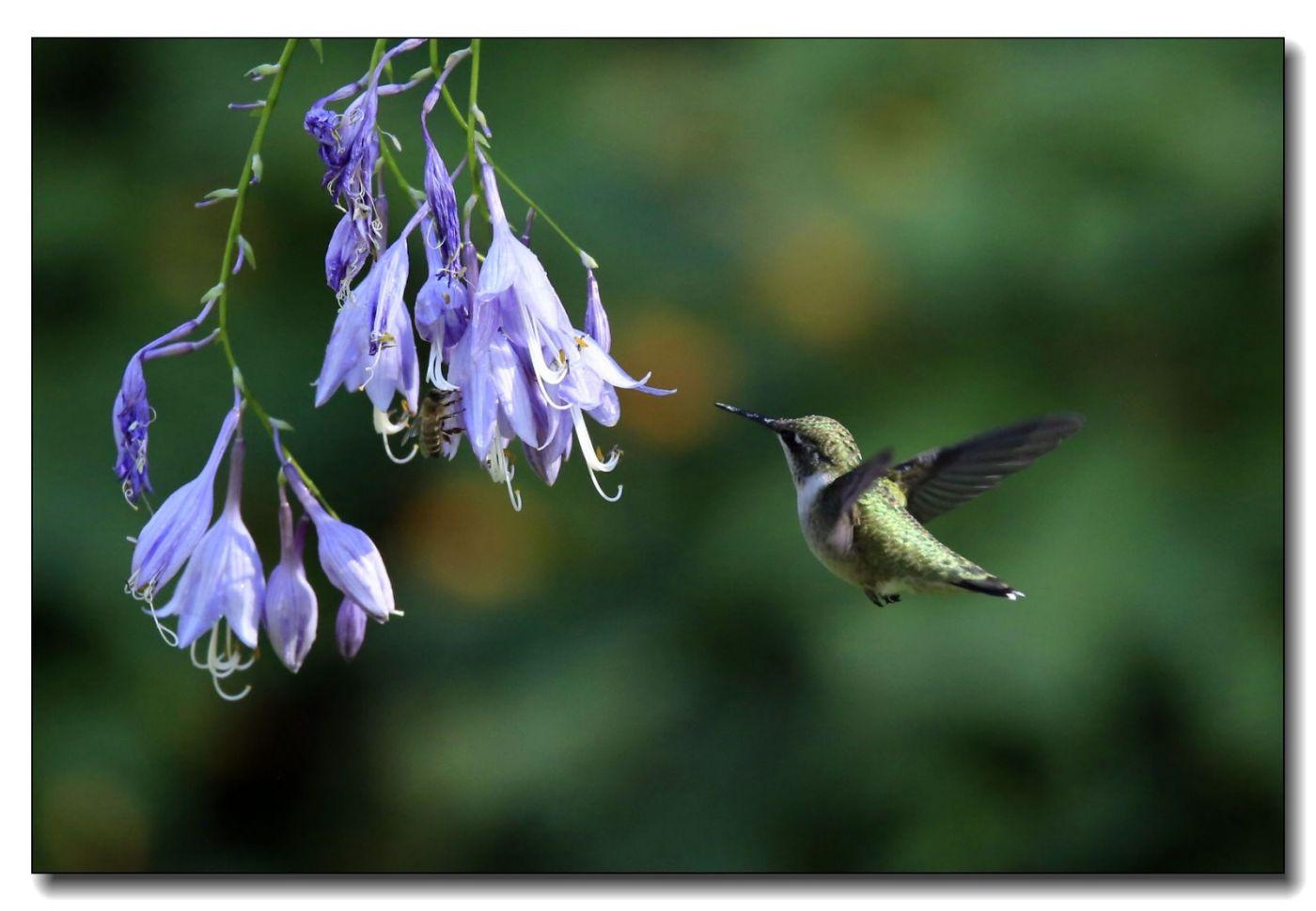 蜂鸟组图(六)_图1-4