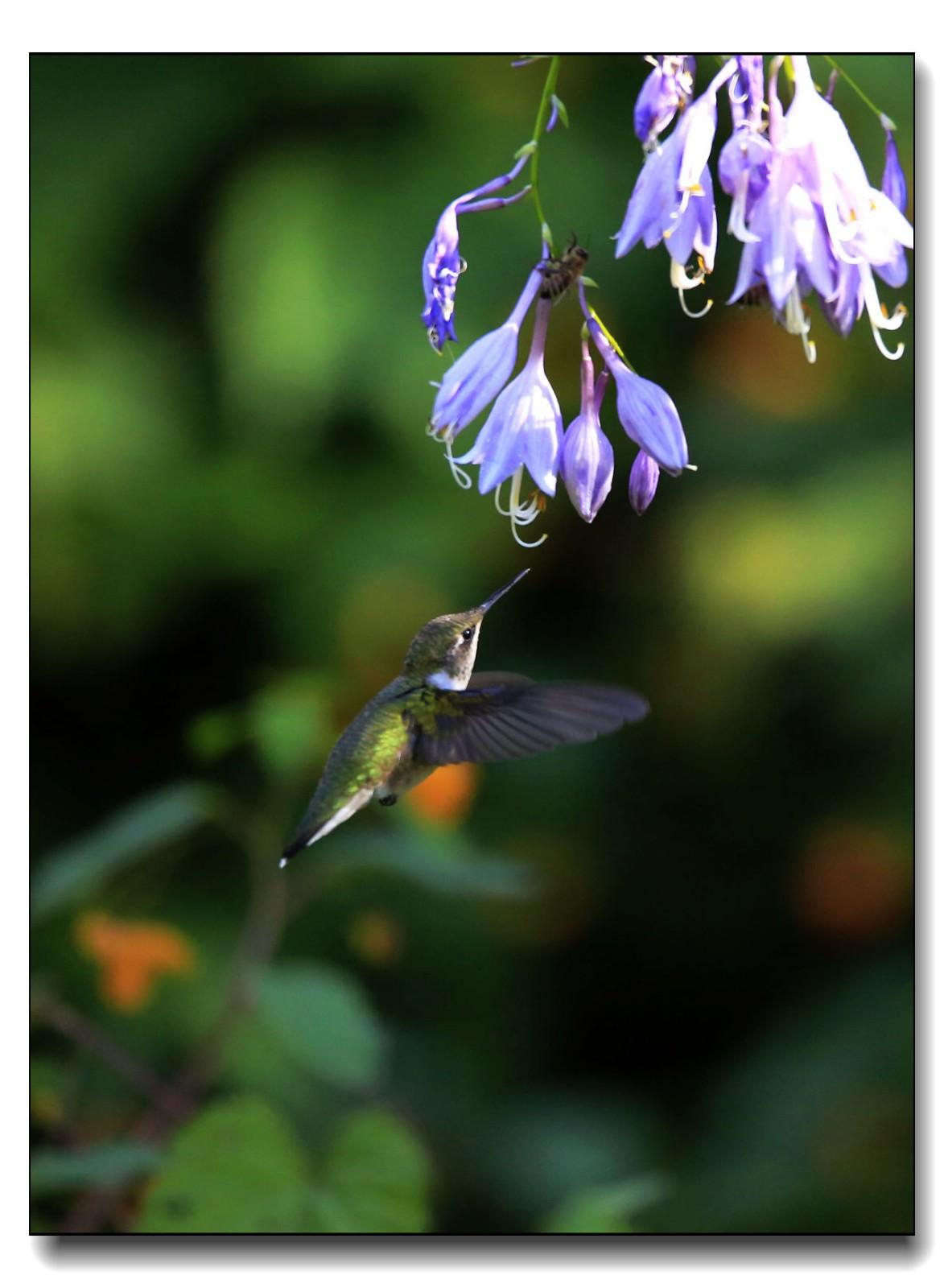 蜂鸟组图(六)_图1-5