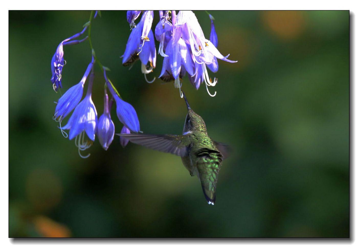 蜂鸟组图(六)_图1-6