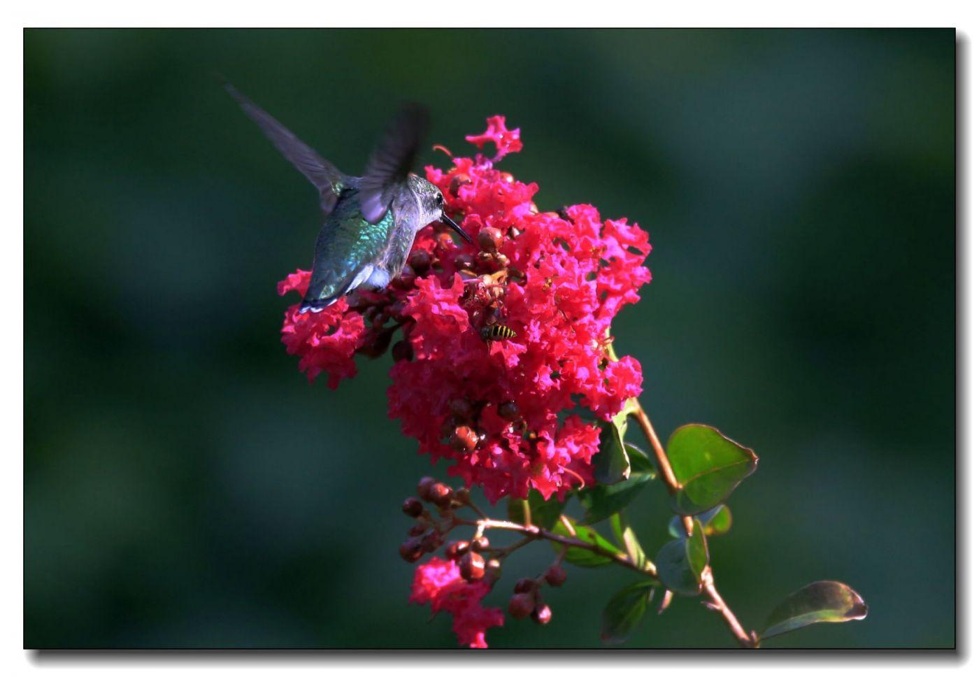蜂鸟组图(六)_图1-7