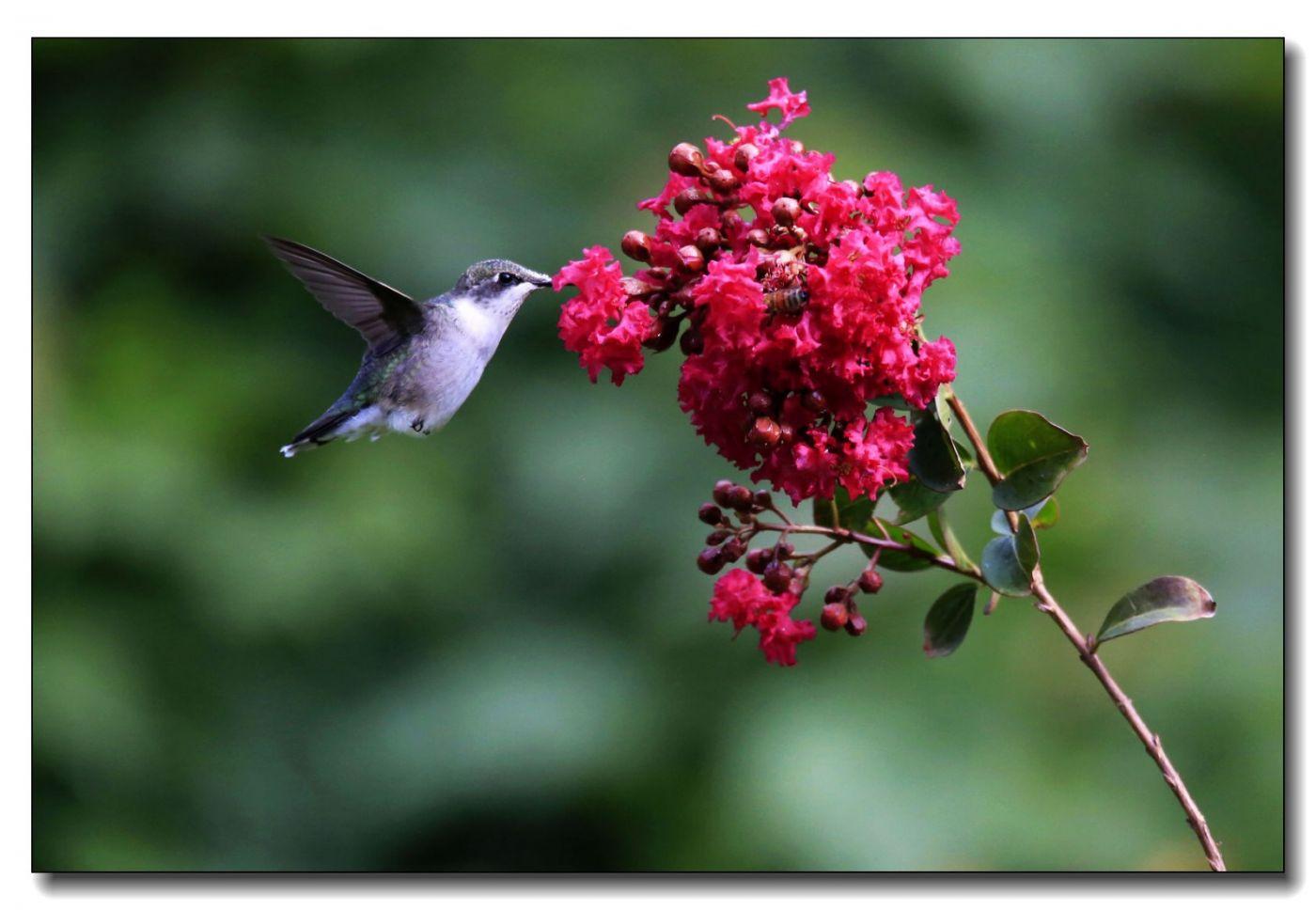 蜂鸟组图(六)_图1-9