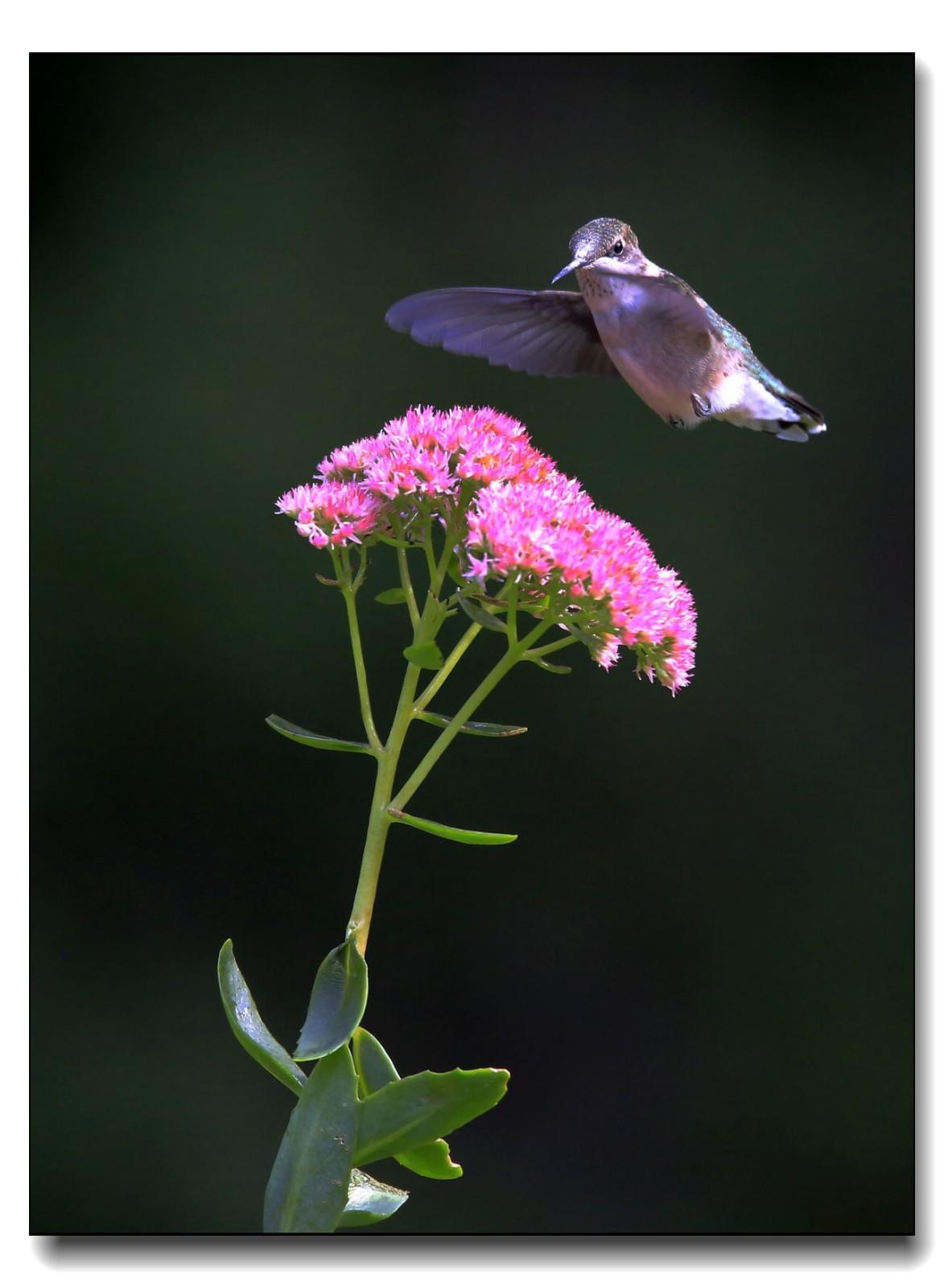 蜂鸟组图(六)_图1-10