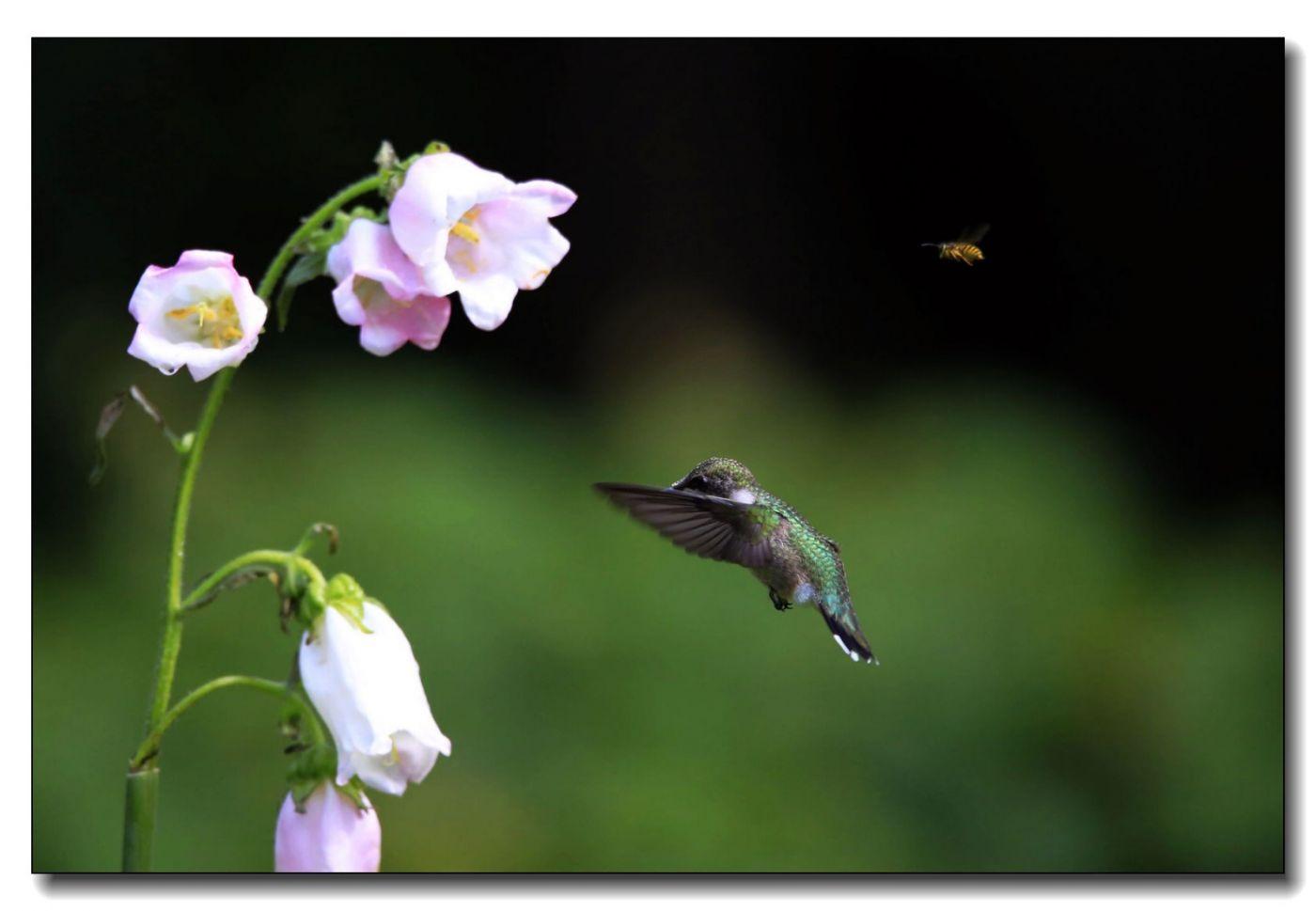 蜂鸟组图(六)_图1-12