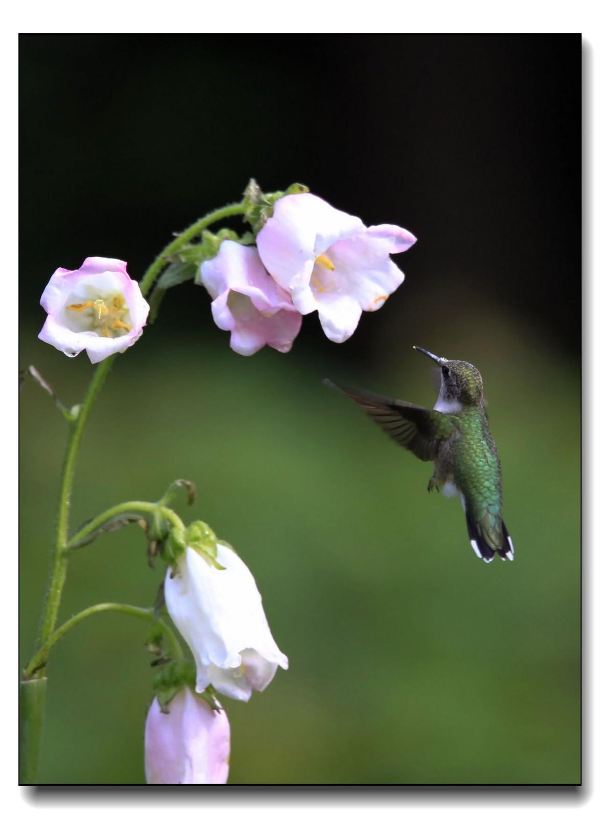 蜂鸟组图(六)_图1-13