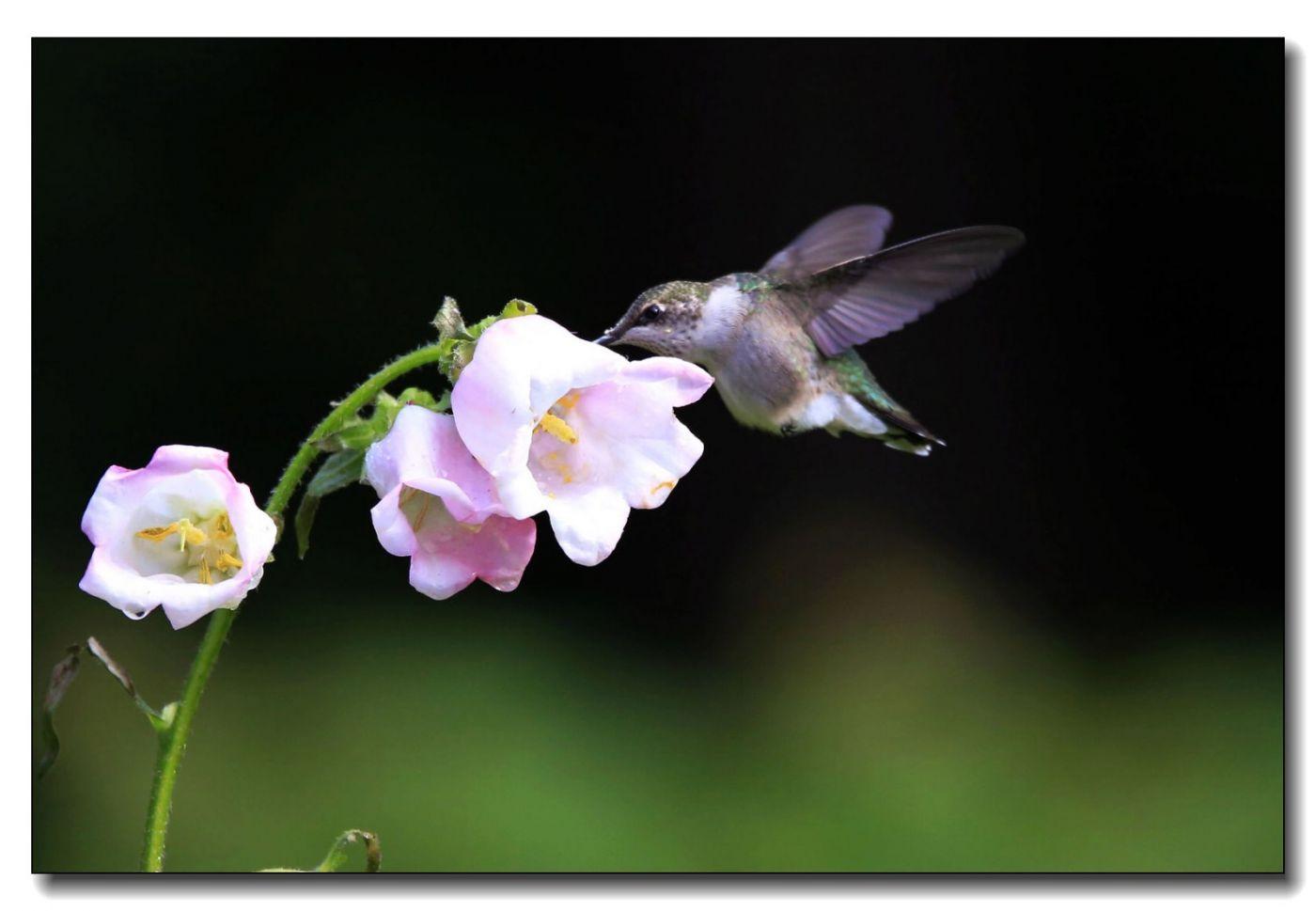 蜂鸟组图(六)_图1-14