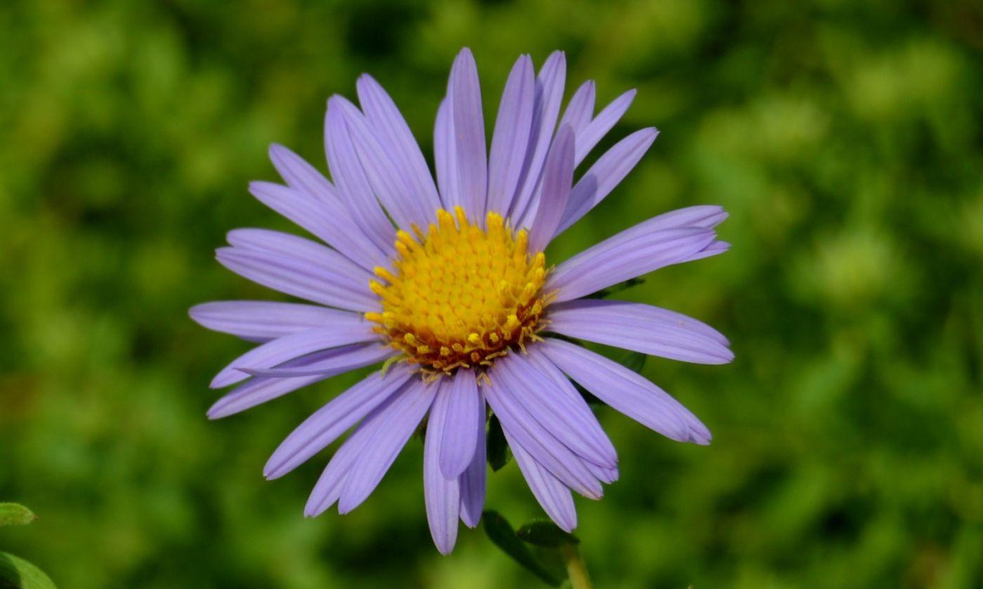 再拍紫菀_图1-1