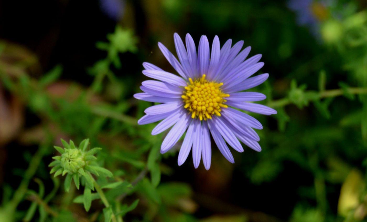 再拍紫菀_图1-2