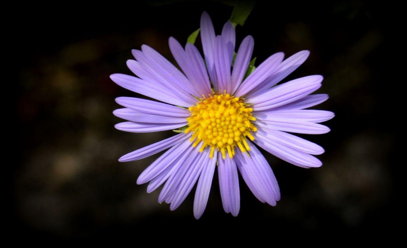 再拍紫菀_图1-3