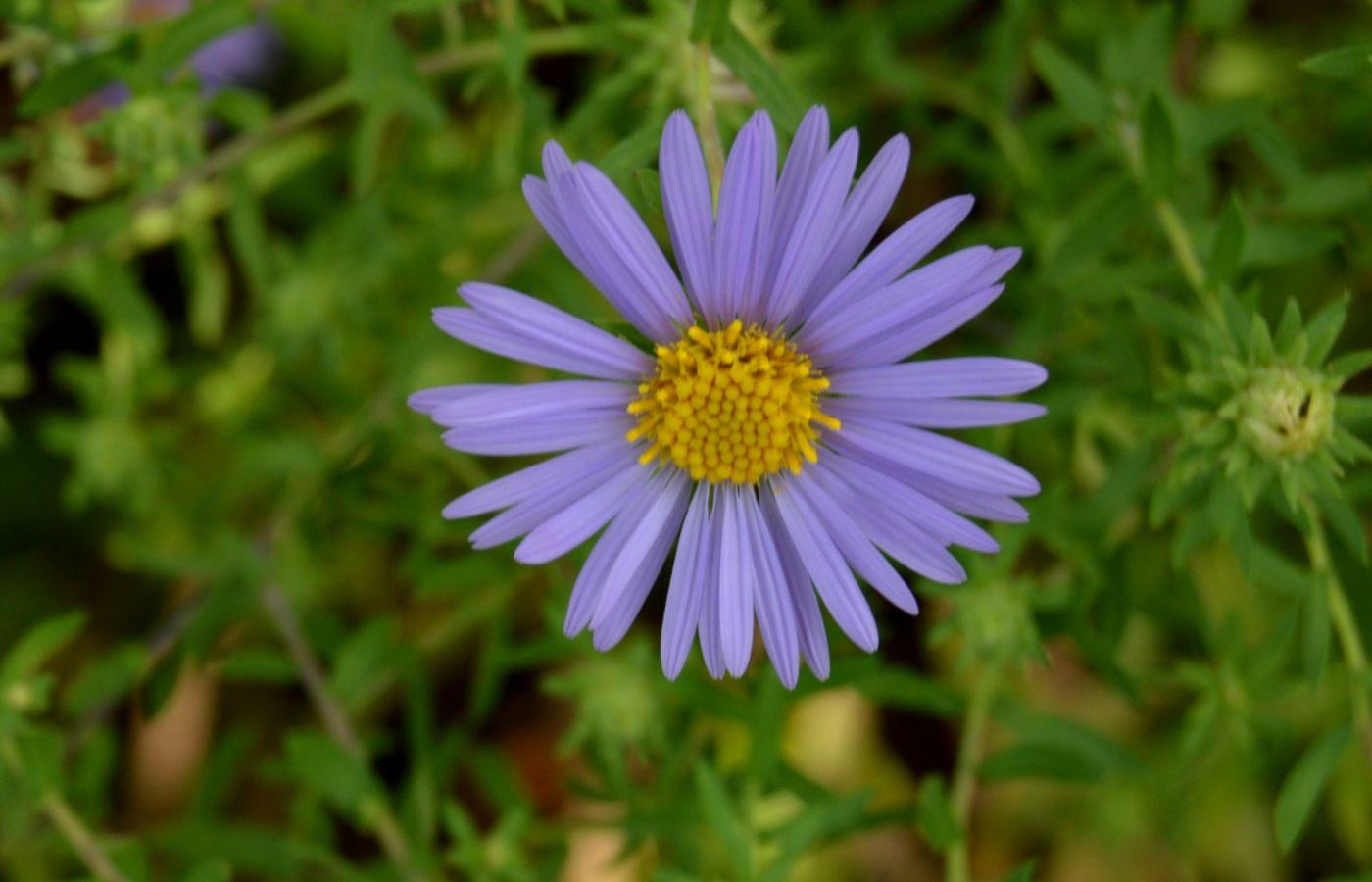 再拍紫菀_图1-4