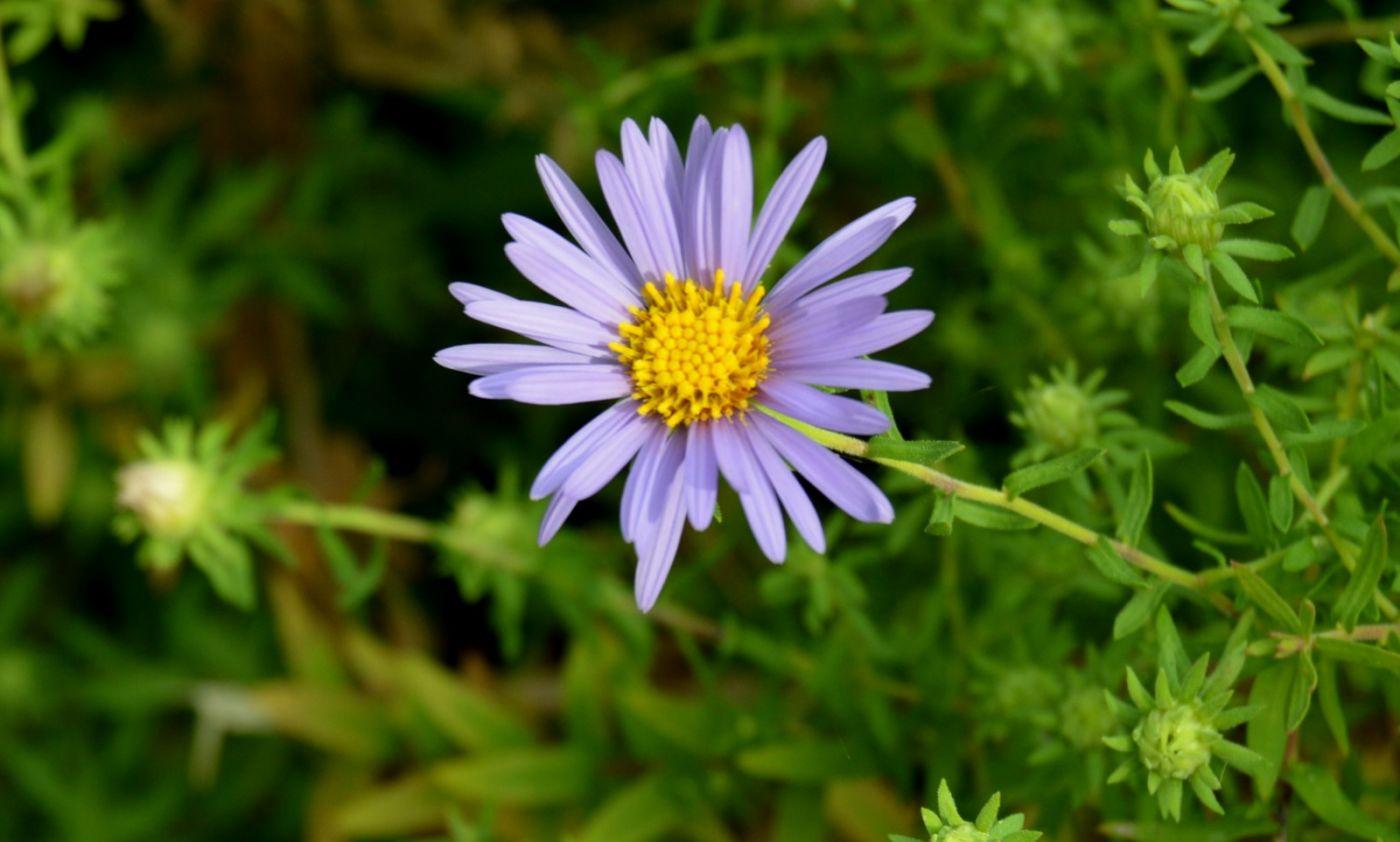 再拍紫菀_图1-5