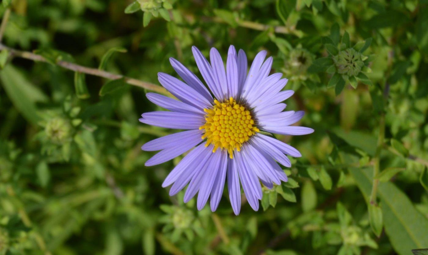 再拍紫菀_图1-6
