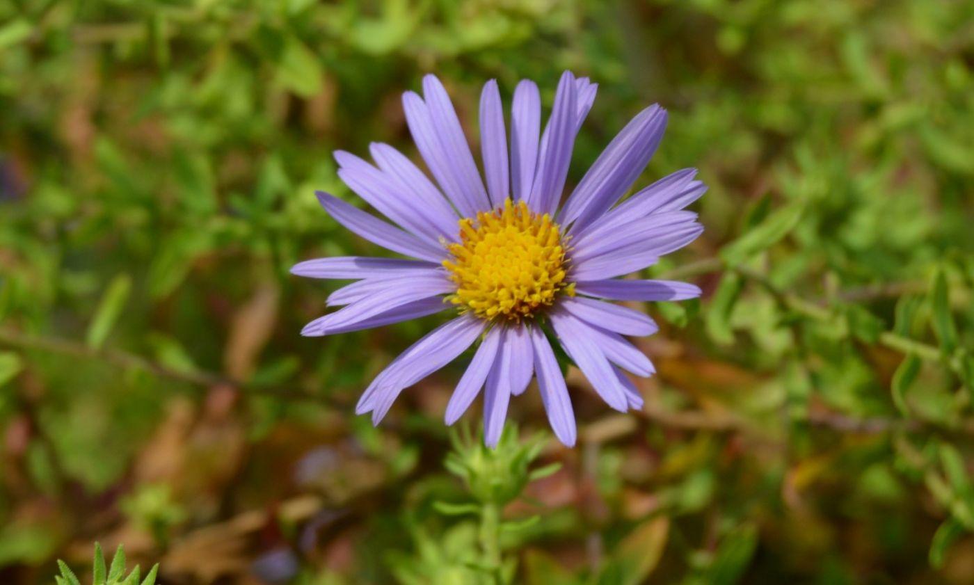 再拍紫菀_图1-12