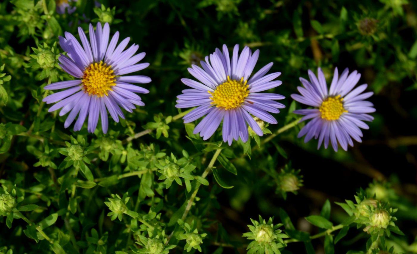 再拍紫菀_图1-16