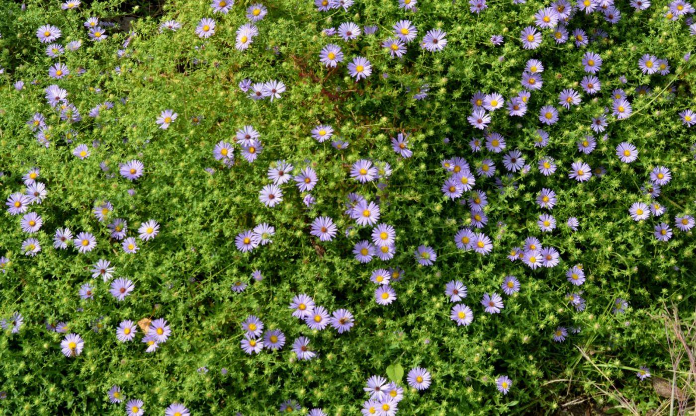 再拍紫菀_图1-24