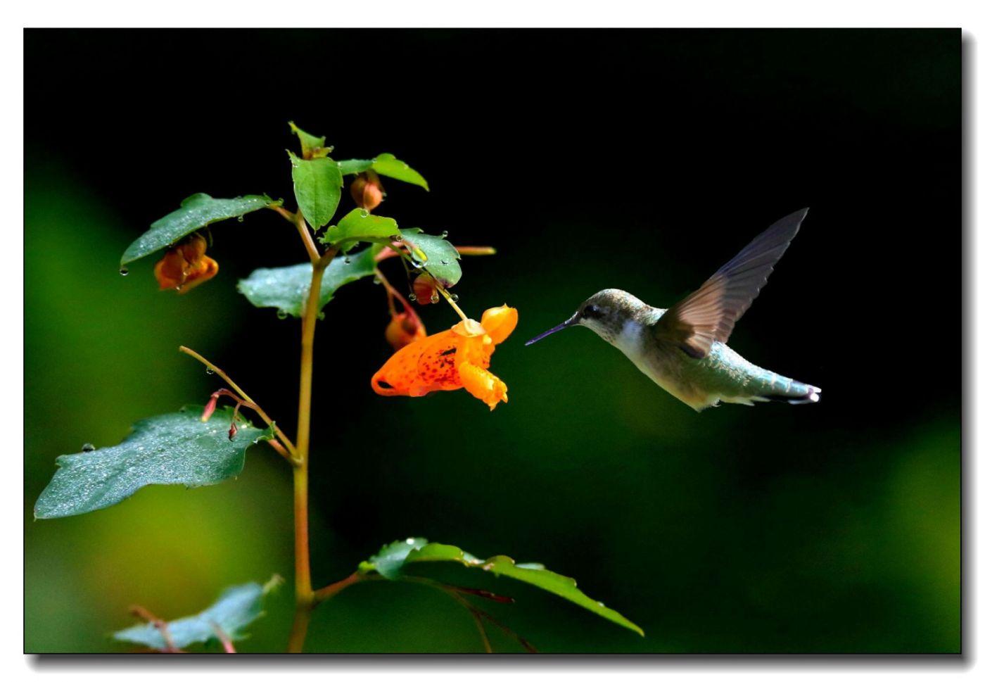 蜂鸟组图(七)_图1-1