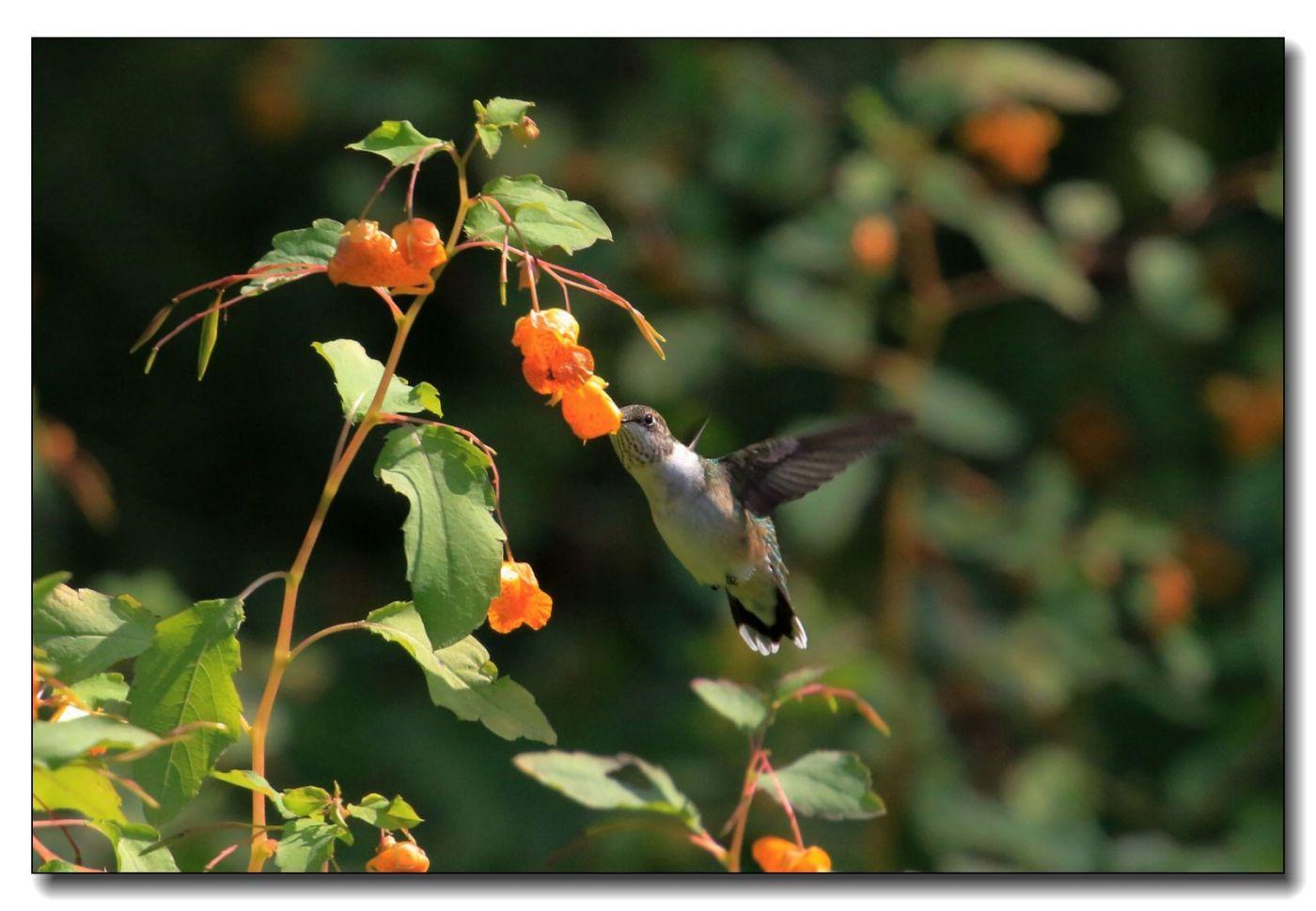 蜂鸟组图(七)_图1-6