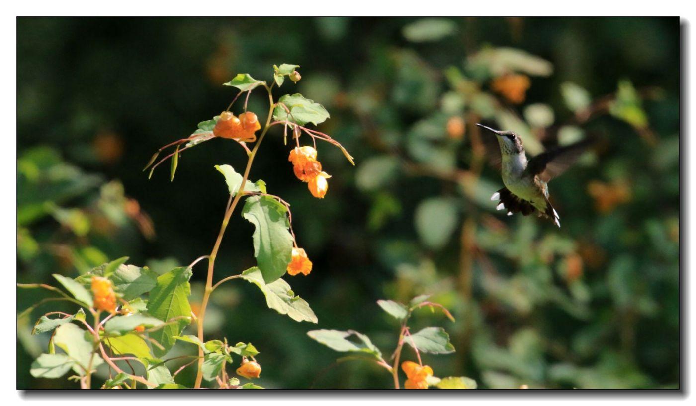 蜂鸟组图(七)_图1-10