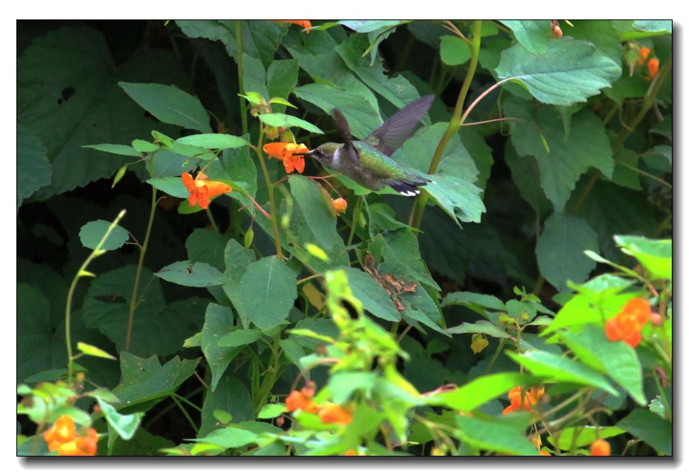 蜂鸟组图(七)_图1-13