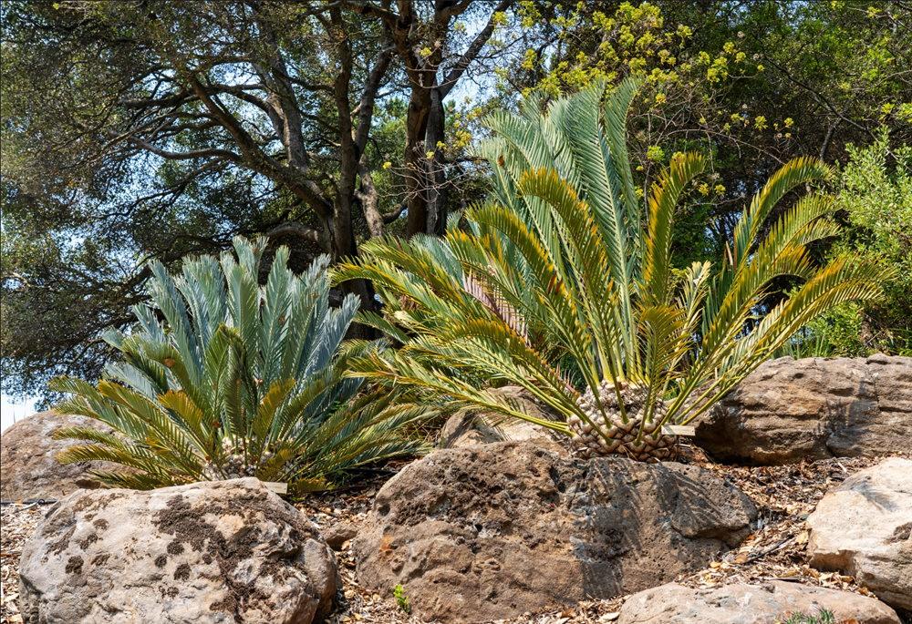 加州大学伯克利分校的植物园_图1-10