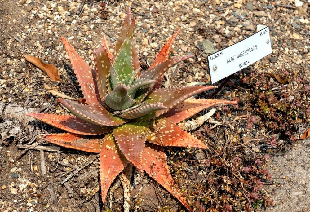 加州大学伯克利分校的植物园_图1-19